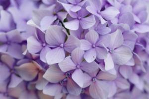 fiocchetto lilla